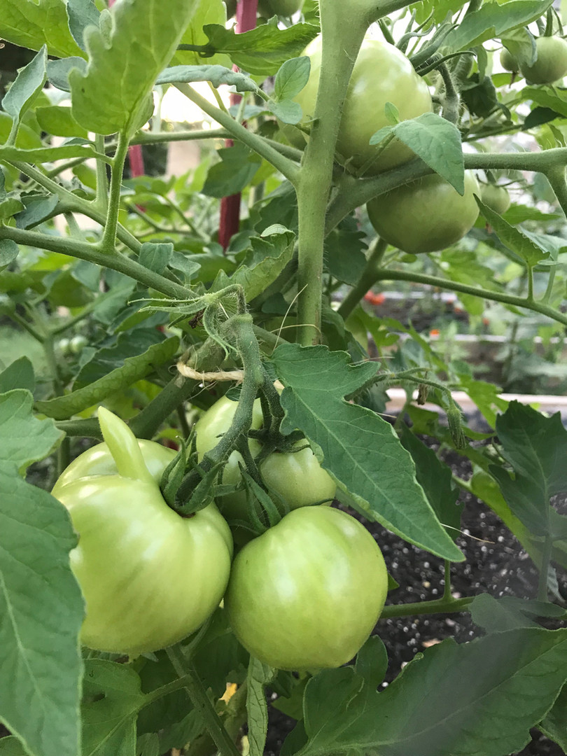 Tomato Pinnoccho