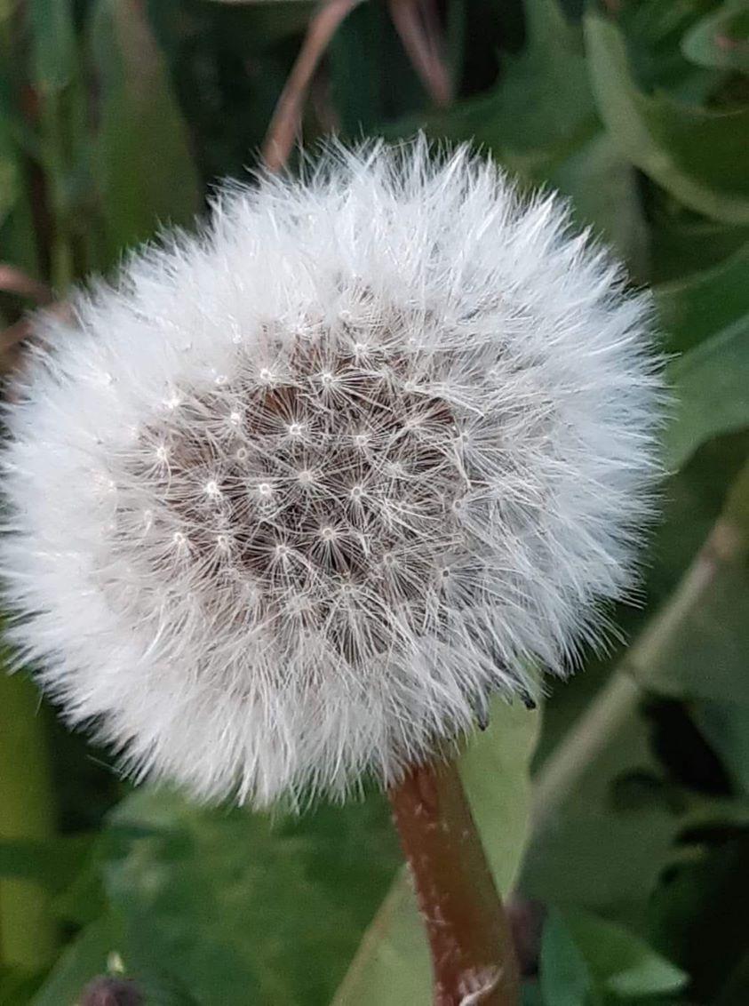 Fleur de Pissenli.jpg