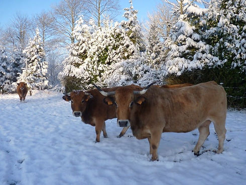 Couverture vaches neige.jpg