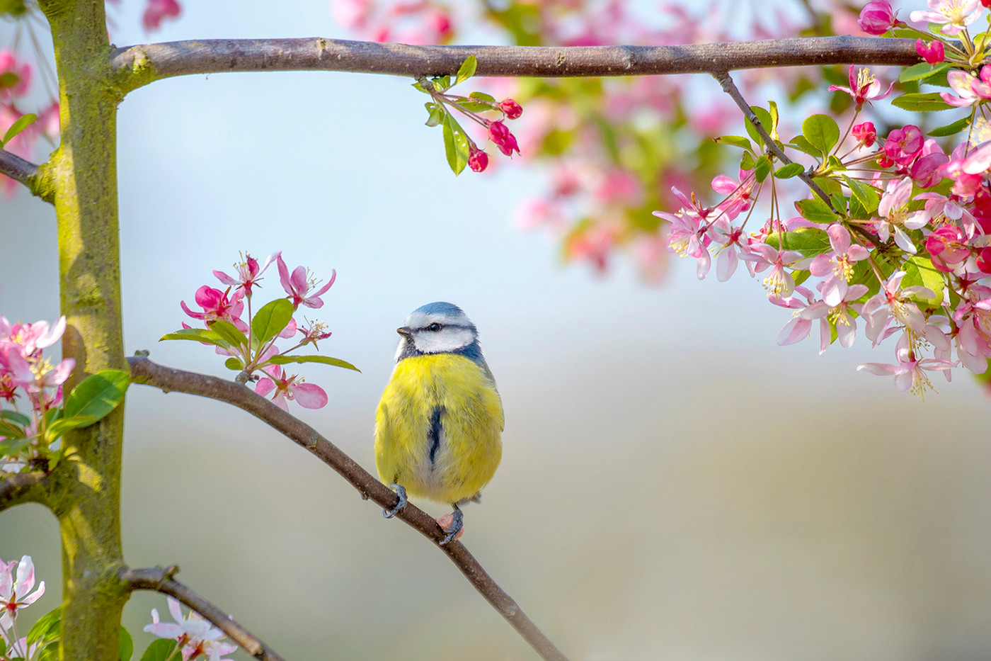Blue tit in spring