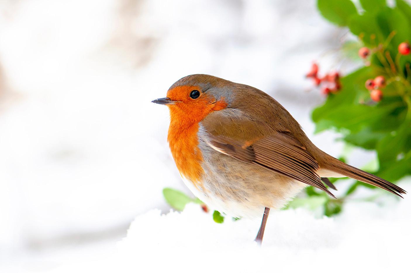 Snow Robin