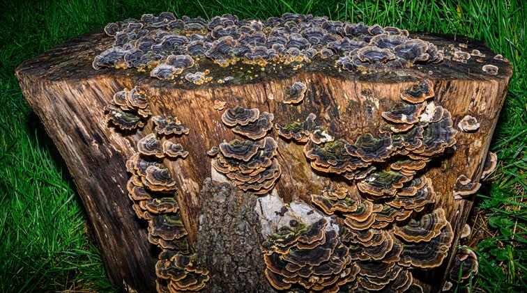 Stump Fungi