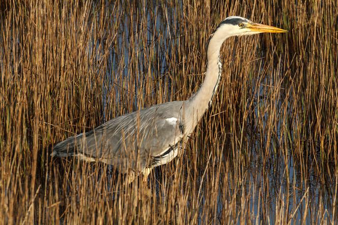 Grey Heron on the Hunt