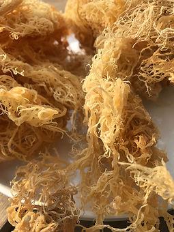 Sea Moss Photo 1.JPG