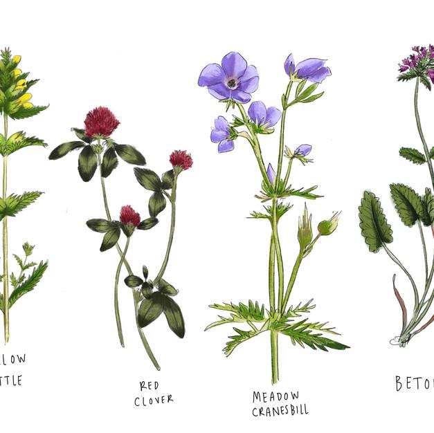 British Meadow Flowers