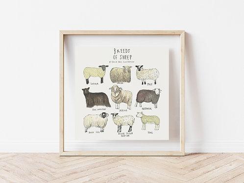 Print - Breeds of Sheep