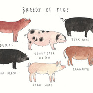 Breeds of Pigs