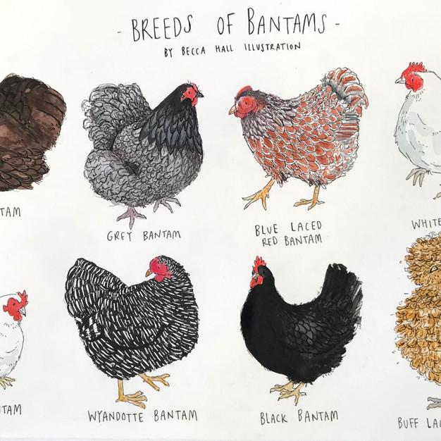 Breeds of Bantams