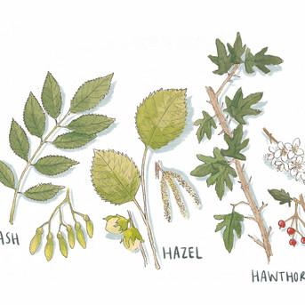 Hedgerow Species