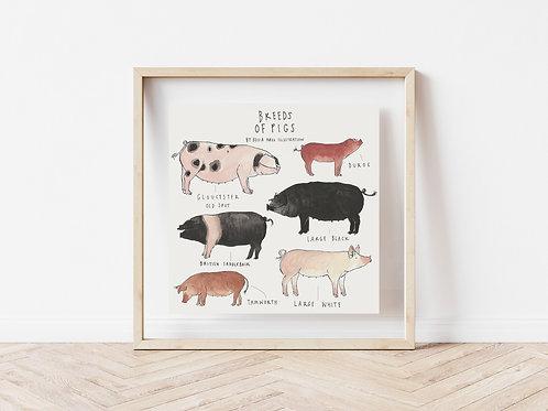 Print - Breeds of Pigs