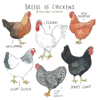Breeds of Chickens