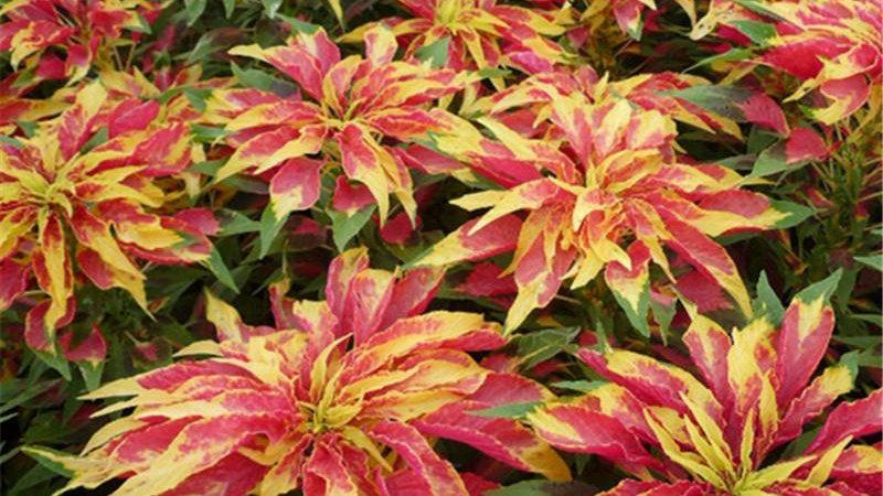 4 Inches Pots 2 Plant Color Amaranth