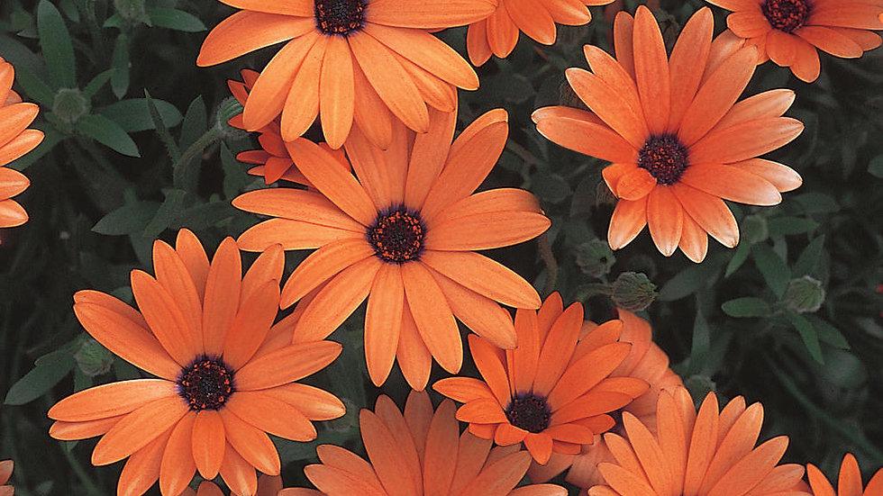 Osteospenum Orange