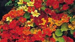 4 Inches Pots 2 Plant Edible Nastursium