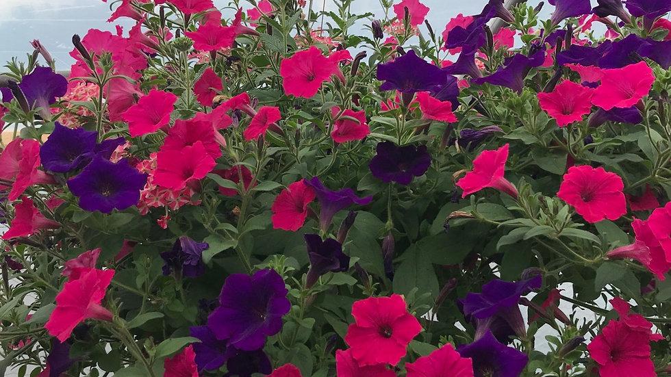 Supertunia Dark Purple and Fushia