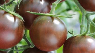 Large Chocolate CherryTomato Plant