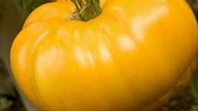 Large Yellow Tomato Plant