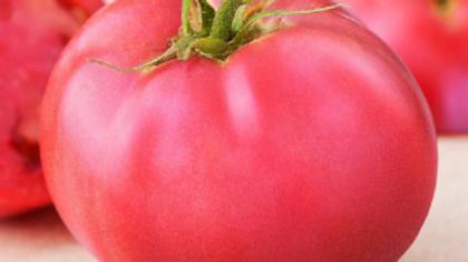 Large Pink Tomato Plant