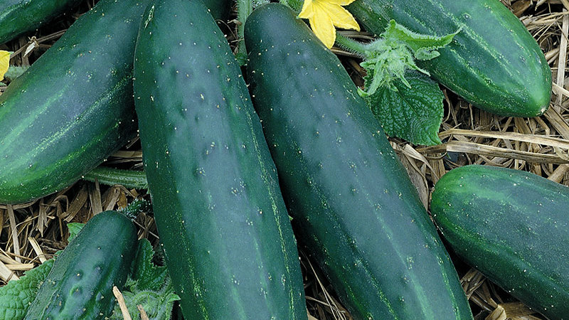 Straight eight Cucumber Plant