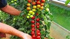 Climbing Cherry Tomato Plant