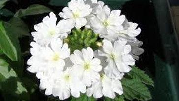 White Verbina