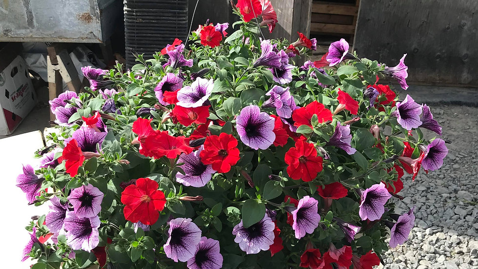 Supertunia Red Mixed Light Purple