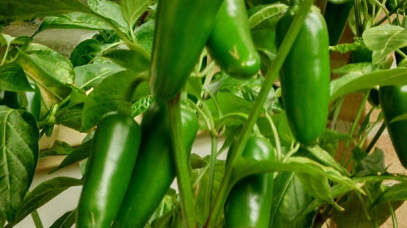 Halepeno Hot Pepper