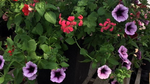 Planter bordeau and red with geranium and vine