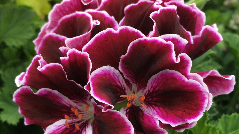 6 Inches Pot Pelargonium