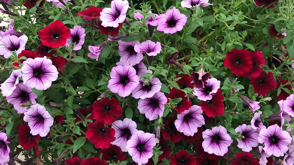 Extra Large Supertunia Mixed