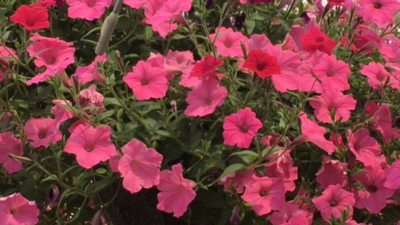Extra Large Supertunia Mixed pink