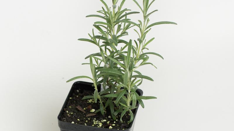 Bigger Rosemary Plant