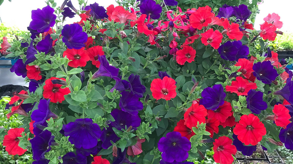 Supertunia dark purple and red
