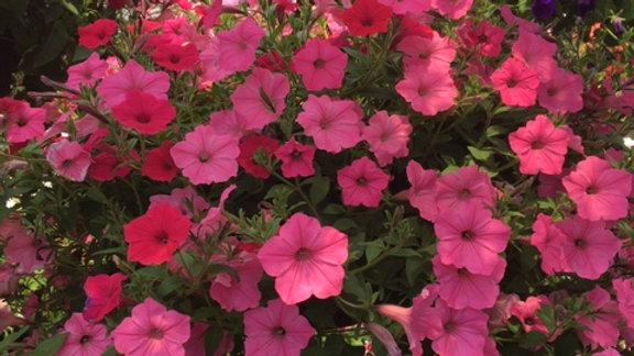 Supertunia Mixed Pink