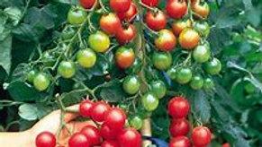 Sweet Million Cherry Tomato