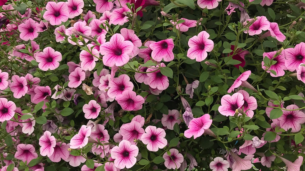 Supertunia light pink and fushia