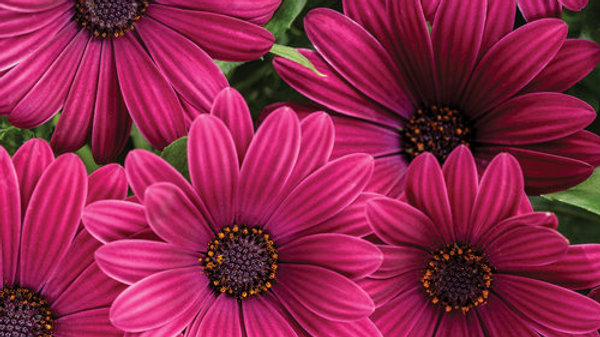 Osteospenum Pink