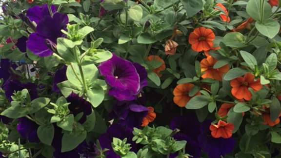 Mixed Supertunia dark purple and orange million