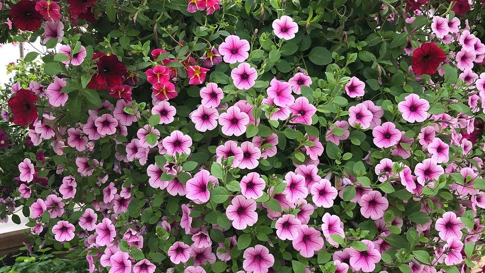 Supertunia burgundy, light pink and pink star million bells