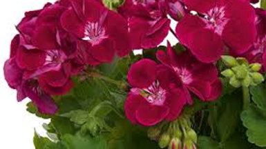 Dark Pink Geraniums