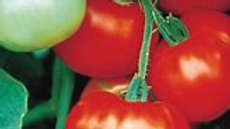 Fantastic Tomato Plant
