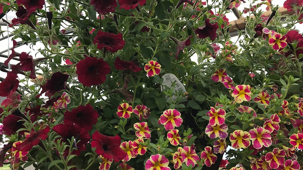Million bells pink star and burgundy supertunia