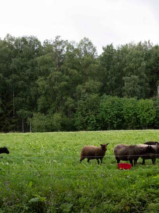 Kuortinkartanon läheisellä lammasfarmilla