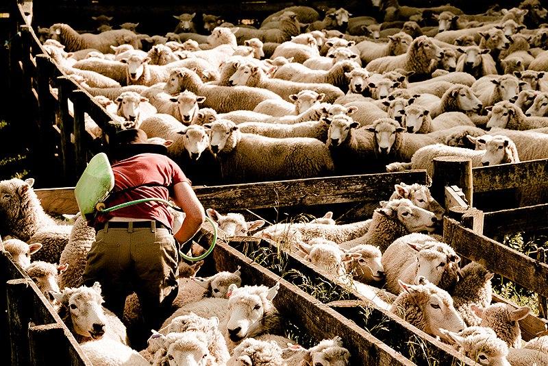 Drenching-sheep