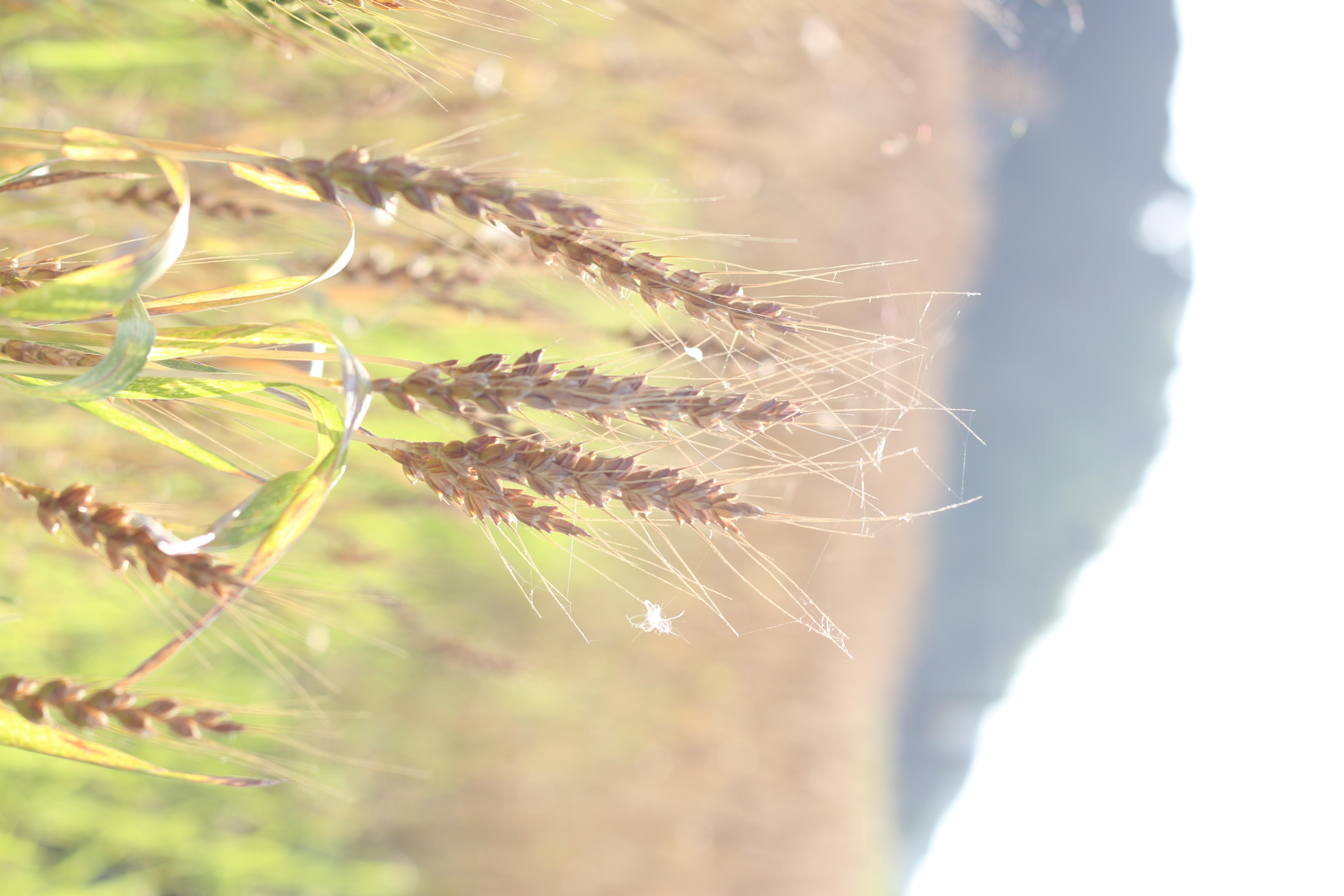 そよ風に揺れる、麦の穂