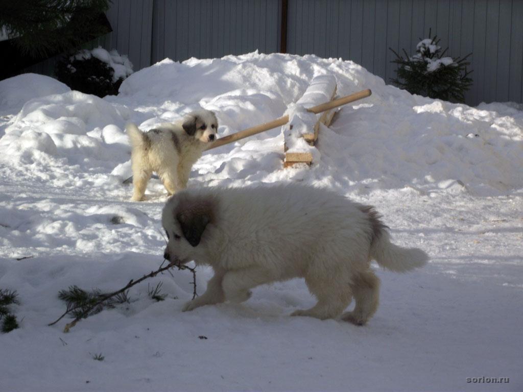 Щенки горной пиренейской собаки.Фото