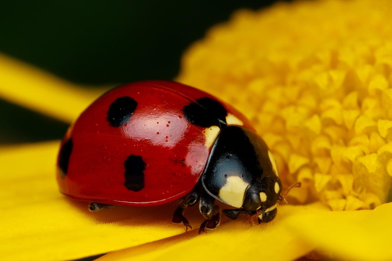 ladybug_on_yellow_iv_by_dalantech