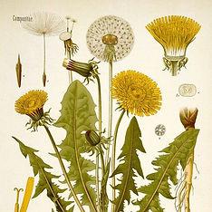 Herbalista - Dandelion.jpeg