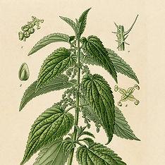 Herbalista - Brennesle - Antikk ill. .jp