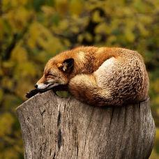 fox-1284512_1920.jpg